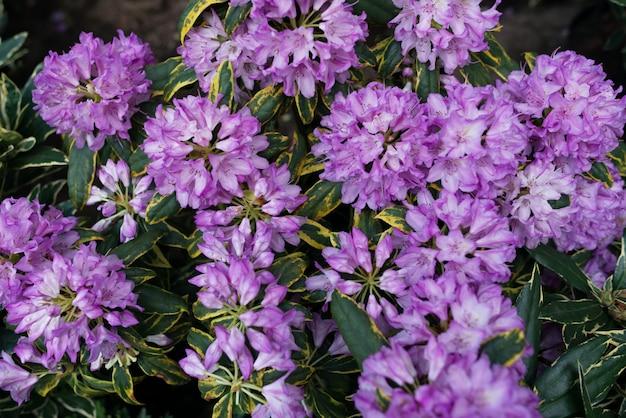 Violette blüten mit grünen blättern