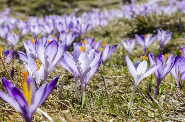 Violette blumen auf dem gebiet