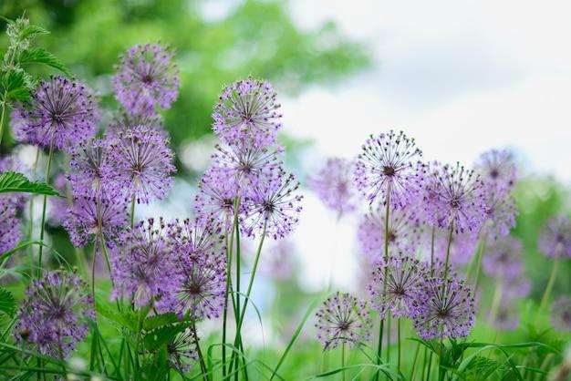 Violette blumen auf dem grünen gebiet. sonniger sommertag