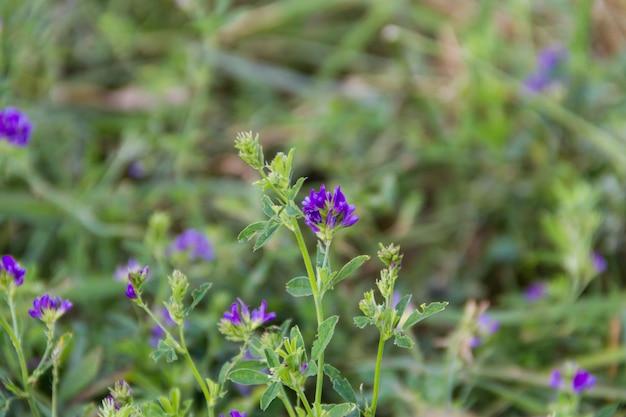 Violette blumen der luzerneplantage auf dem gebiet