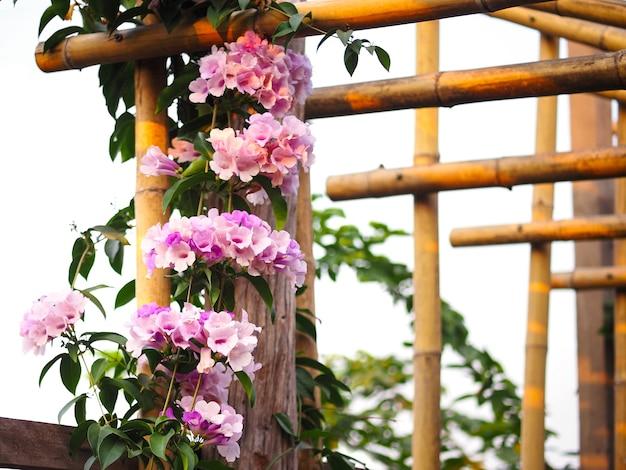 Violette blumenkriechpflanze, die auf dem bambusdachrahmen für die gartendekoration klettert.