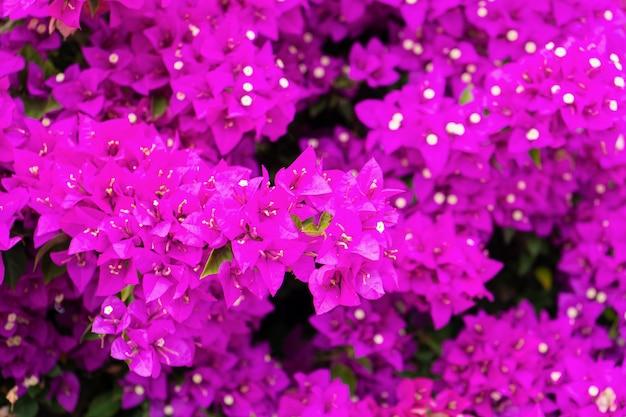 Violette bougainvillea-blume. helle gesättigte farbe.