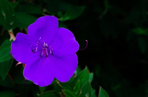 Violette farbe des ruhmbusches oder der prinzessinblume