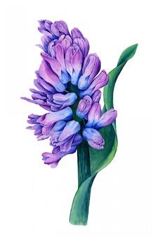 Violette hyazinthe mit grünem blatt lokalisiert auf einer weißen hintergrundaquarell-botanischen illustration