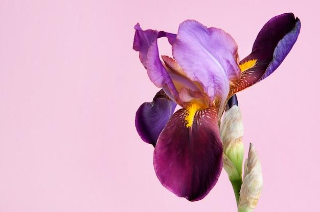 Violette iris auf rosa hintergrund