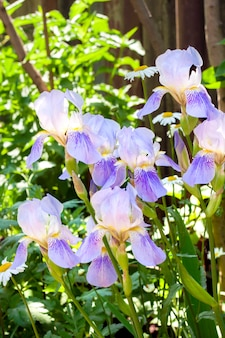 Violette iris blüht auf blumenbeet am sonnigen tag