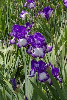 Violette iris nahaufnahme, frühlingsblumen auf der wiese. natürlicher hintergrund