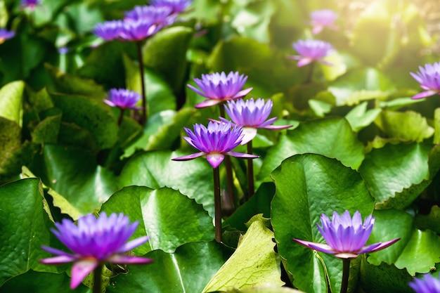 Violette lotusblume mit grünen blättern und sonnenschein