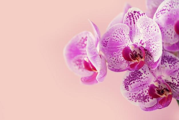 Violette orchidee auf rosafarbenem hintergrund