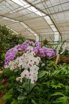 Violette u. weiße orchidee im tropischen garten tagsüber im glashaus für agrotourismus