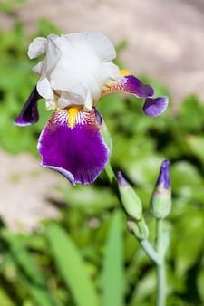 Violette und weiße irisblumennahaufnahme