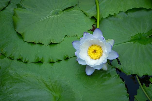 Violette und weiße thailändische seerose oder lotosblume