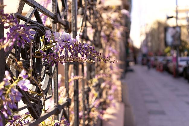Violette violette blumen der glyzinien auf städtischer stadtstraße, die auf eisenzaun hängt