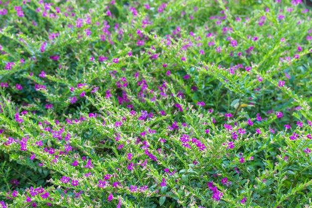 Violette zierpflanzen werden für die gartenarbeit angebaut.
