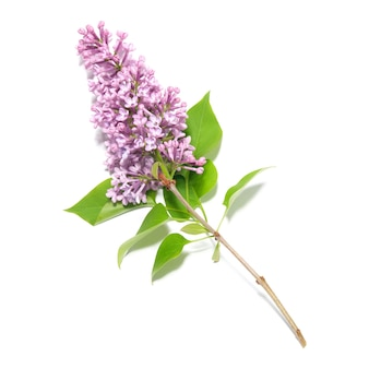 Violetter fliederzweig isoliert
