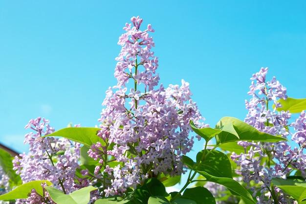 Violetter fliederzweig mit blauem himmel