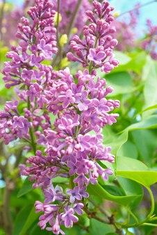 Violetter fliederzweig mit grünen blättern