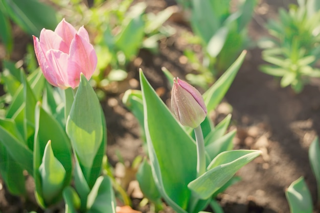 Violetter garten der tulpen im frühjahr. erstaunliches frühlingskonzept und -hintergrund.