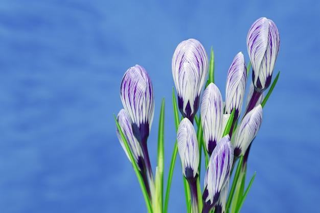 Violetter krokus blüht blumenstrauß