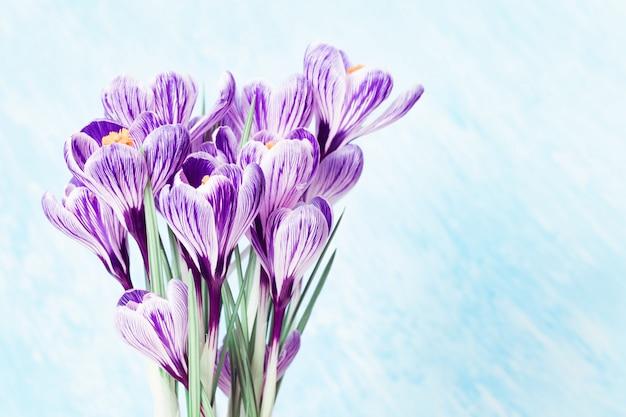 Violetter krokusblumenstrauß auf hellblauem. selektiver fokus. speicherplatz kopieren.