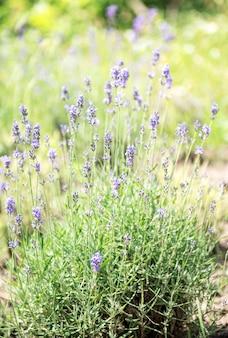 Violetter lavendel. blühende violette duftende lavendelblüten.