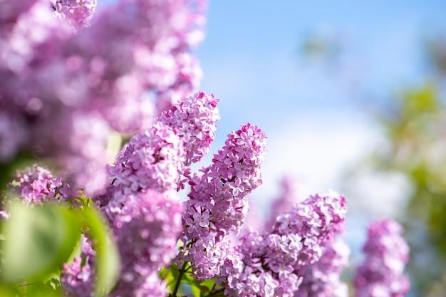 Violetter, lebendiger fliederbusch mit blühenden knospen im frühlingsgarten.