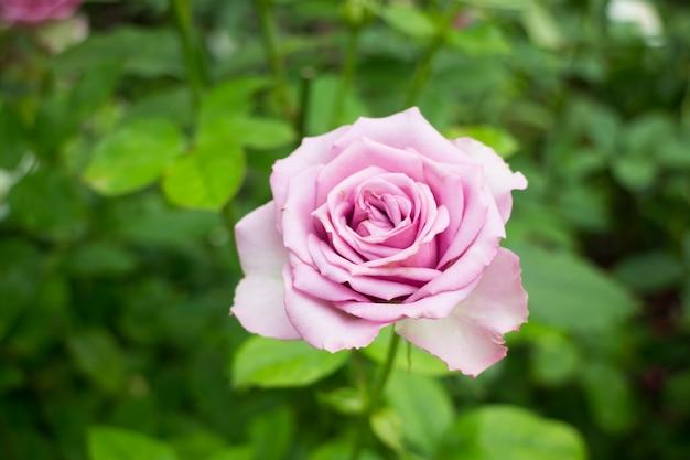Violetter rosenbusch im garten
