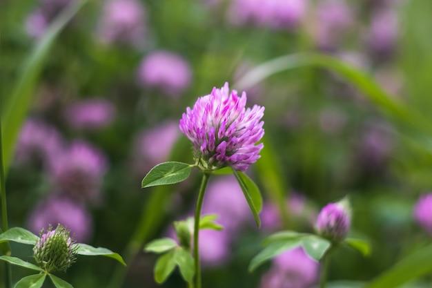 Violetter wilder klee auf der wiese, kleeblattfeld.
