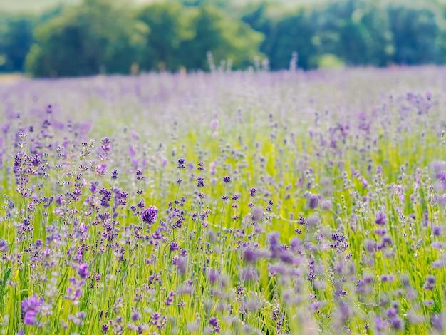 Violettes lavendelfeld, das im sommersonnenlicht blüht. fliedermeerblumenlandschaft in der provence, frankreich. duftblumen der französischen provence. aromatherapie. naturkosmetik. gartenarbeit.