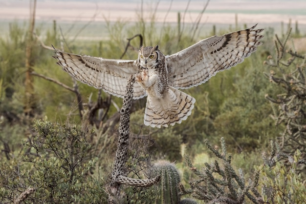 Virginia-uhu mit ausgestreckten flügeln und krallen in der wüste von arizona