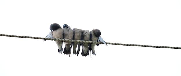Vögel auf dem draht auf weißem hintergrund. szene der freiheit und beziehung.