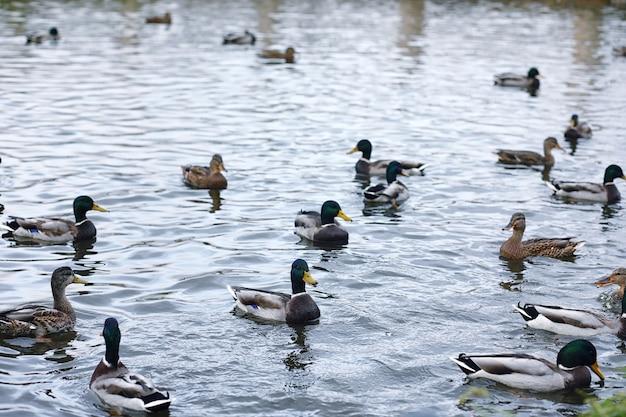Vögel auf dem teich. ein schwarm enten und tauben am wasser. zugvögel am see.