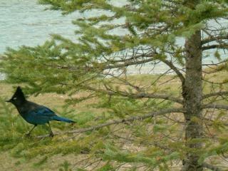 Vögel des inneren von british columbia, cana