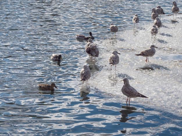 Vögel im frühling. die population der kormorane im blauen wasser im winter.