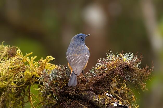 Vögel in der natur, rotschwänzchen (phoenicurus frontalis)