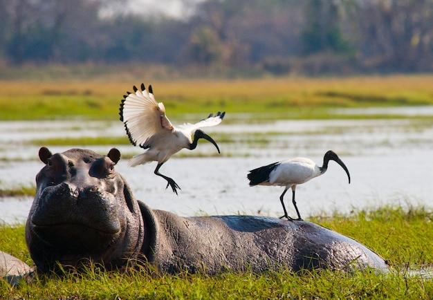 Vögel sitzen auf dem rücken eines nilpferds