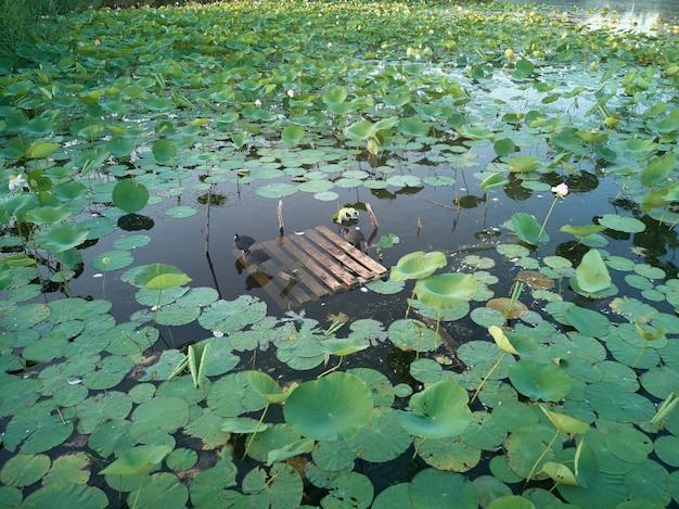 Vögel sitzen auf einem hölzernen ponton auf einem teich, der mit lotos überwältigt wird