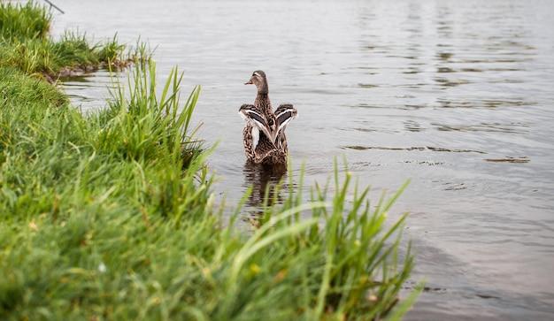 Vögel und tiere in der tierwelt. schöne ente, welche die flügel im wasser von teich oder von fluss flattert.