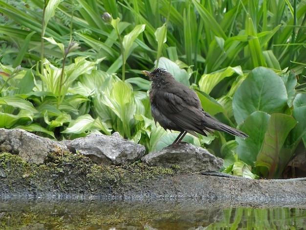 Vögel, vogel, blackbird bank amseln tier