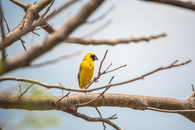 Vogel (asiatischer goldener weber, ploceus hypoxanthus) männliche gelbe, gold- und schwarzfarbe