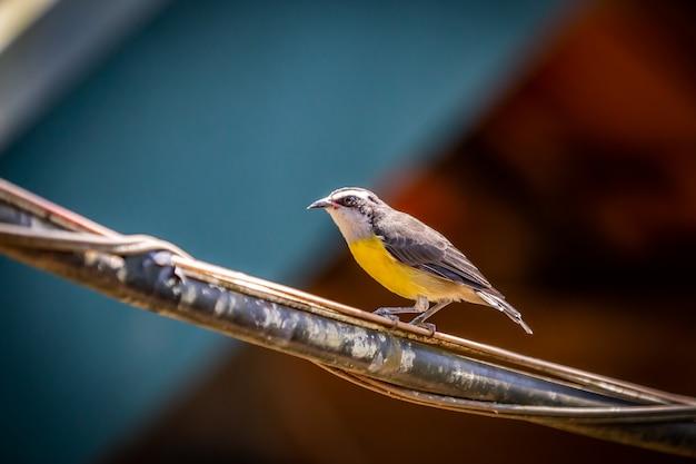 Vogel bananaquits (coereba flaveola), der auf einem draht in brasiliens landschaft steht