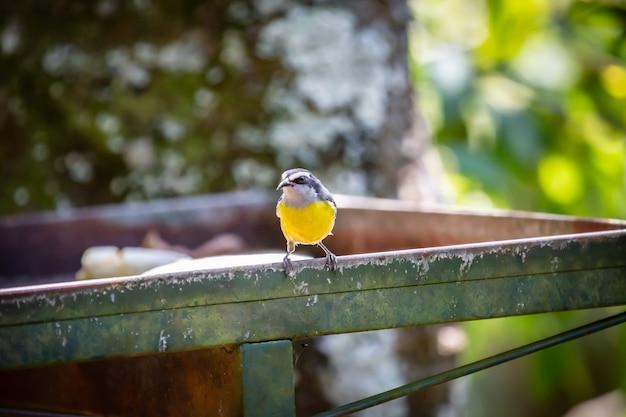 Vogel bananaquits (coereba flaveola), der banane in brasiliens landschaft isst