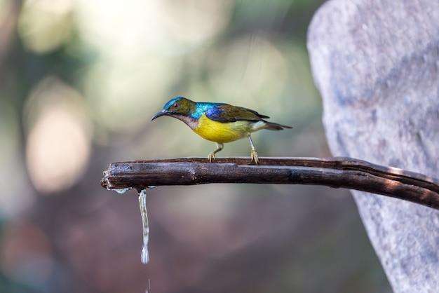 Vogel (braunkehlsonnenvogel) in der natur wild