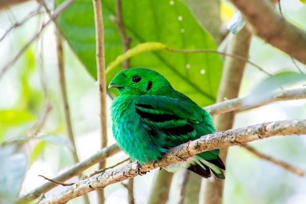 Vogel der vogelfarbe (grüner broadbill) in der farbe des klaren grüns im wald
