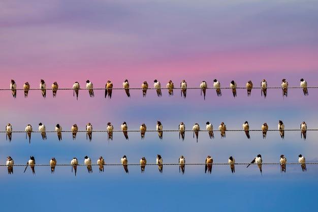 Vogel ein schwalbenschwarm sitzt auf vier stromleitungen und himmelshintergrund