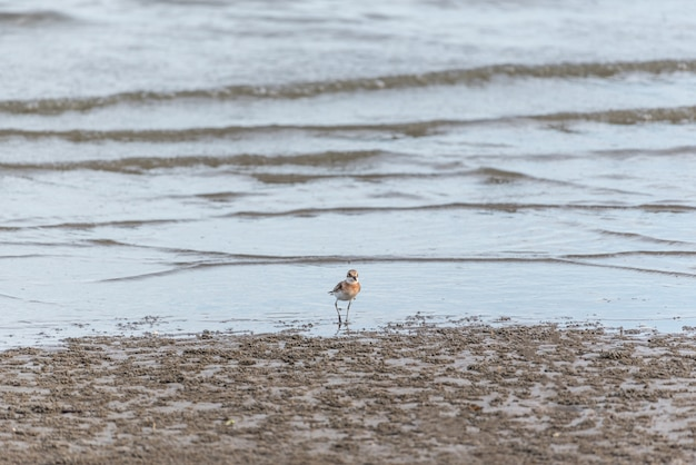 Vogel (flussregenpfeifer) in der natur wild