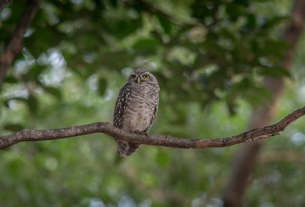 Vogel, gepunktetes owlet, athene brama