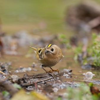 Vogel goldcrest regulus regulus in freier wildbahn.