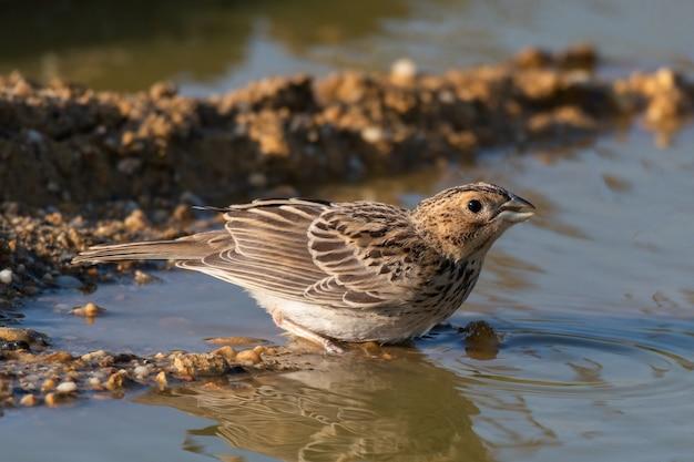 Vogel in der nähe des teiches trinken das wasser. emberiza calandra.
