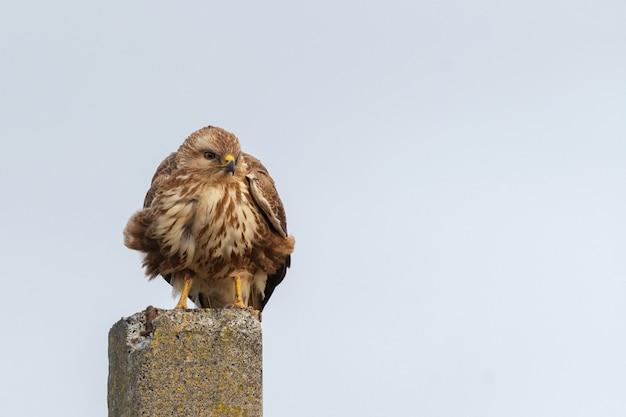 Vogel mäusebussard sitzt auf einem pfosten. buteo buteo.